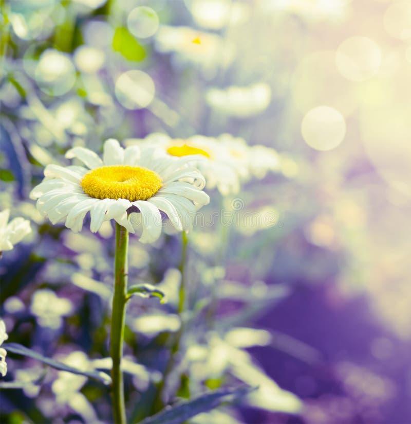 De mooie madeliefjes op tuin of parkachtergrond, sluiten omhoog stock fotografie