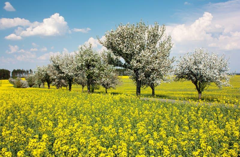 De mooie mening van de lente van raapzaadgebied, steeg van appelboom stock afbeelding