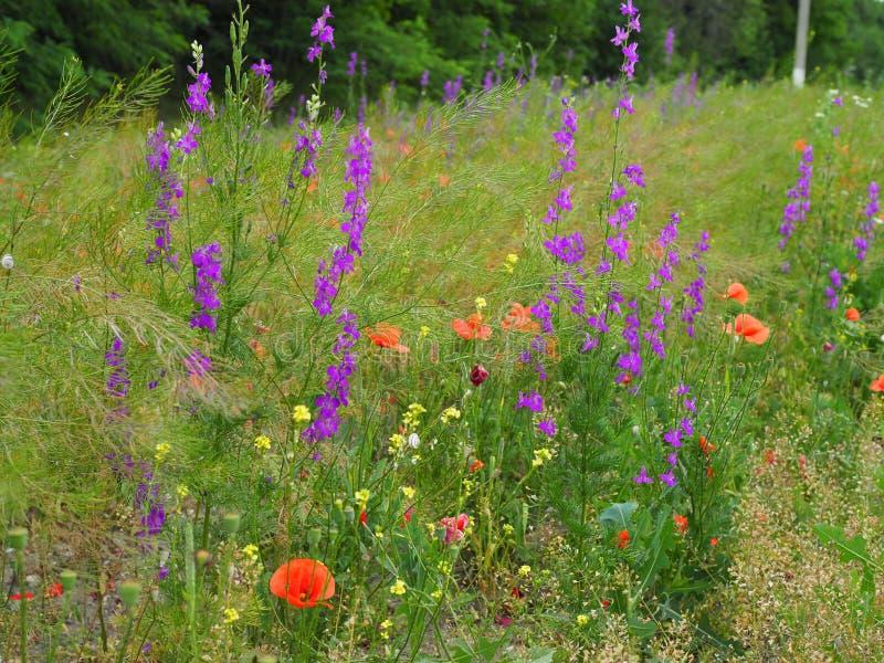 De mooie multicolored de zomerweide met rode papavers en de purpere en gele weide bloeien stock foto's