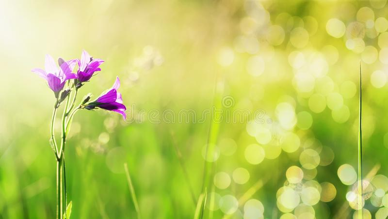 De mooie natuurlijke achtergrond met gevoelige lilac bloemenklokken groeit op een groene de zomerweide met helder het flikkeren g stock foto's