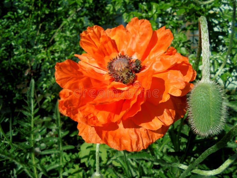 De mooie oranje papaverbloem met een doos zaden en stamens ontluikt close-up stock foto's