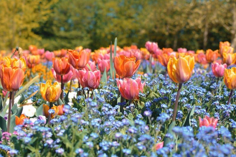 De mooie oranje, roze en gele tulp in midden van gebied met de blauwe lente bloeit stock fotografie