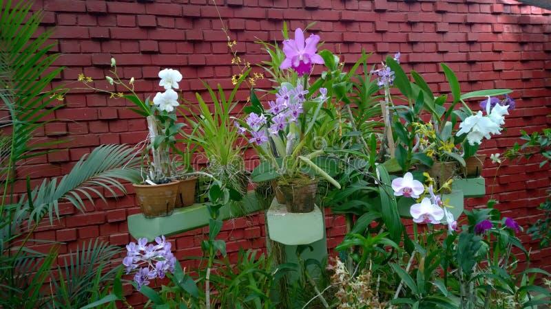 De mooie orchidee bloeit Sri Lanka 01 royalty-vrije stock afbeelding