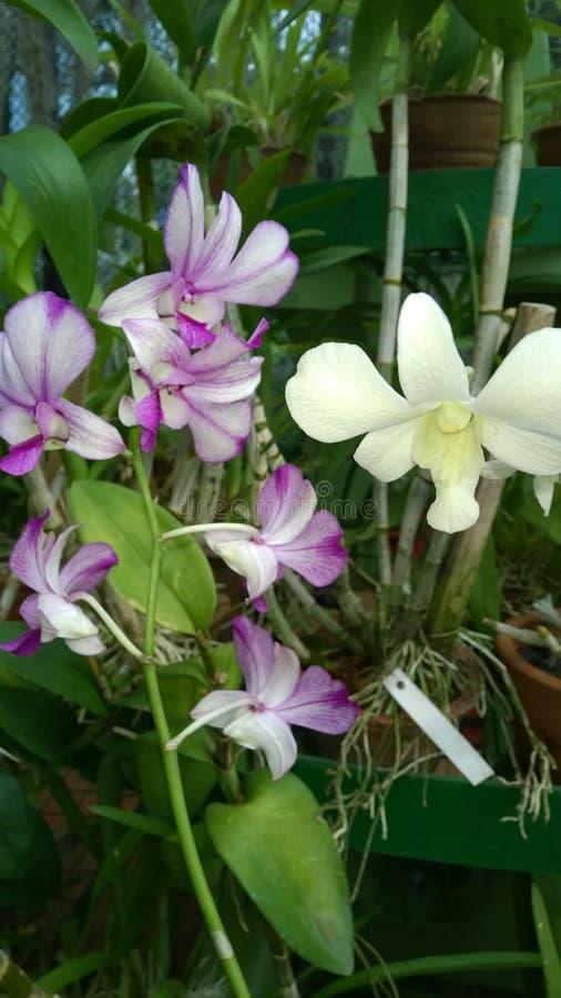 De mooie orchidee bloeit Sri Lanka 01 stock foto's