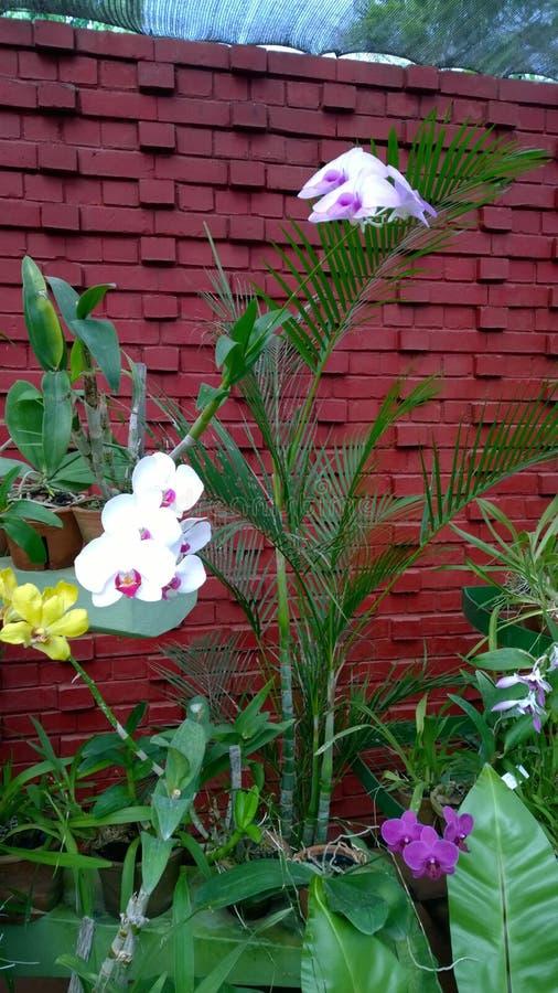 De mooie orchidee bloeit Sri Lanka 01 stock afbeelding