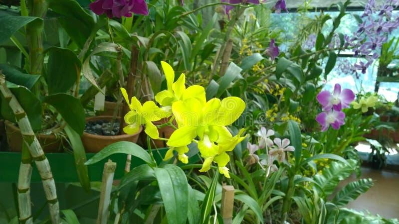 De mooie orchidee bloeit Sri Lanka 01 stock afbeeldingen