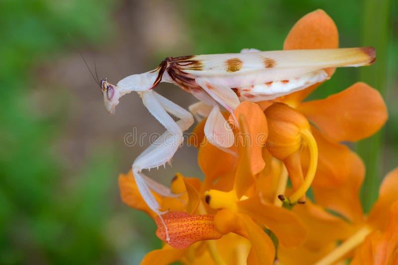 De mooie orchideebidsprinkhaan in het bos blijft in de bladeren stock afbeeldingen