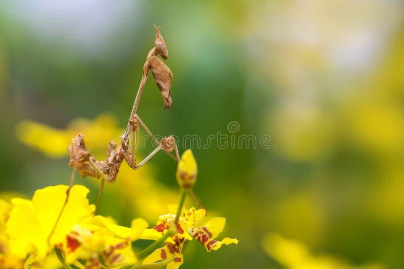 De mooie orchideebidsprinkhaan in het bos blijft in de bloem royalty-vrije stock fotografie