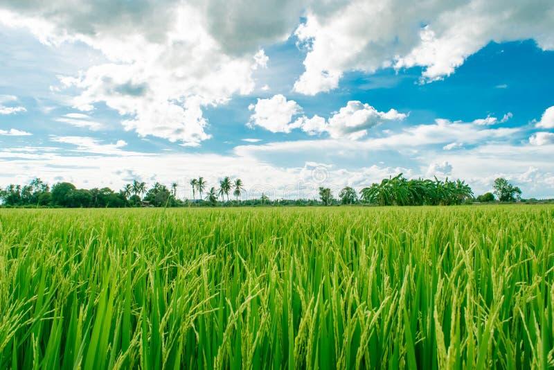 De mooie padievelden die op platteland en witte bewolkte hemelachtergrond groeien, landschap van Thailand, kijken vers en groen stock foto's