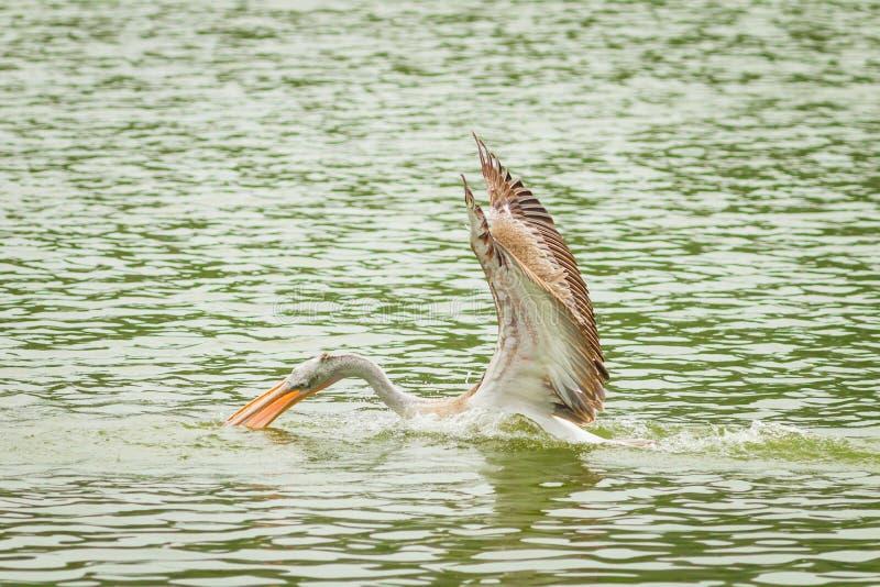 Download De Mooie Pelikaan Die De Vissen Vangen Stock Foto - Afbeelding bestaande uit koepel, catching: 29513588