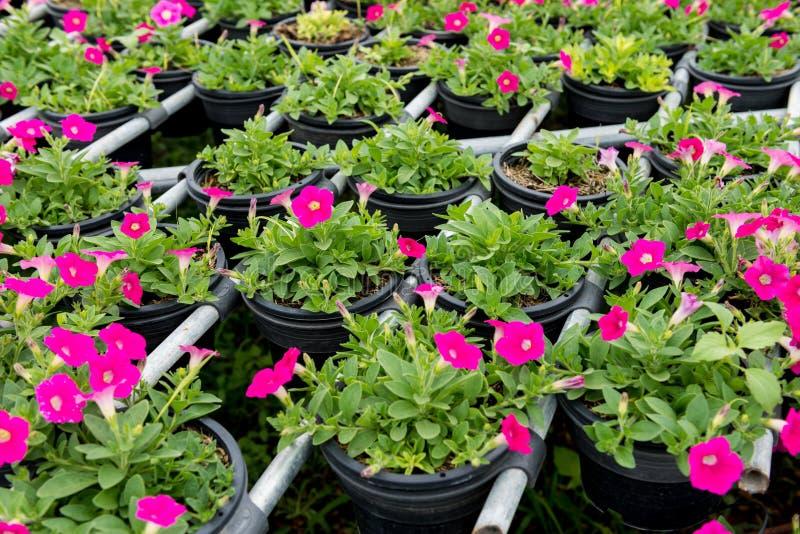 De mooie petunia bloeit dicht omhoog stock fotografie