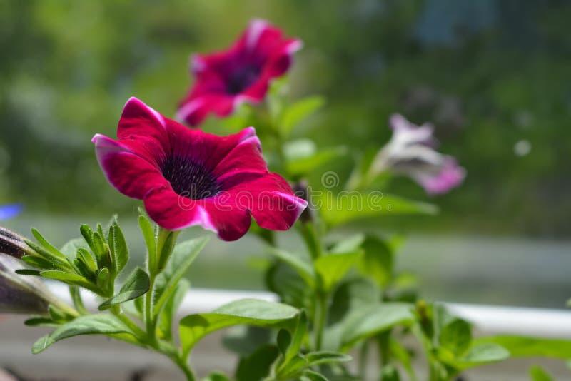 De mooie petuniabloem groeit op het balkon Heldere rode die kleuren van bloemblaadjes met groene bladeren worden gecombineerd stock foto