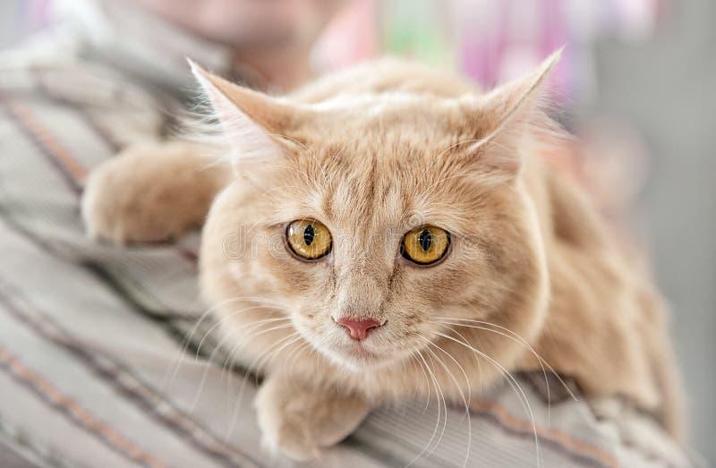 De mooie pluizige kat kweekt Perzisch Angora close-up Een horizontaal kader stock foto