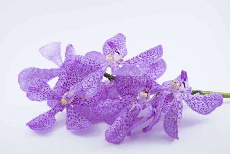 De mooie purpere bloem van de cattleyaorchidee op witte backgr royalty-vrije stock afbeeldingen