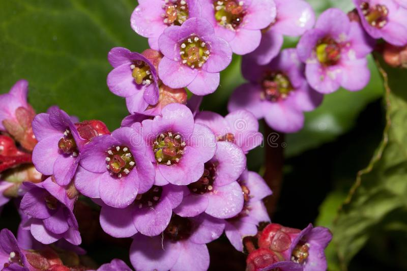 De mooie purpere bloemen van bergenia groeien in een de lentetuin Sluit omhoog Purpurea van Bergeniacordifolia stock afbeelding