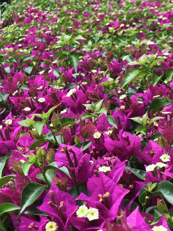 De mooie purpere, roze en gele bloemen van de bougainvillea planten op een achtergrond van bladeren royalty-vrije stock foto's