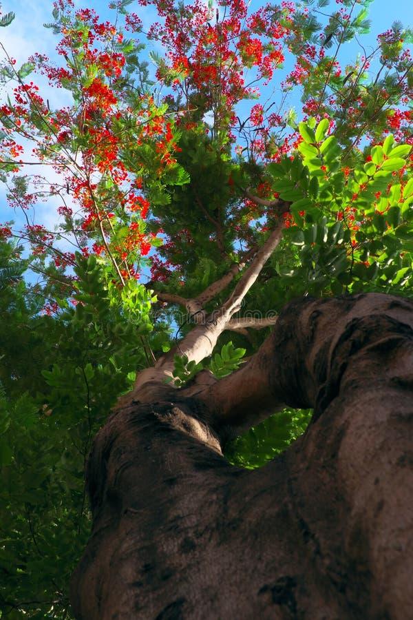 De mooie rode bloem van Phoenix van bodemmening met verbazende vorm van boomboomstam stock afbeeldingen