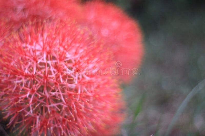 De mooie rode bloemen zijn bloeiend in de tuin royalty-vrije stock foto