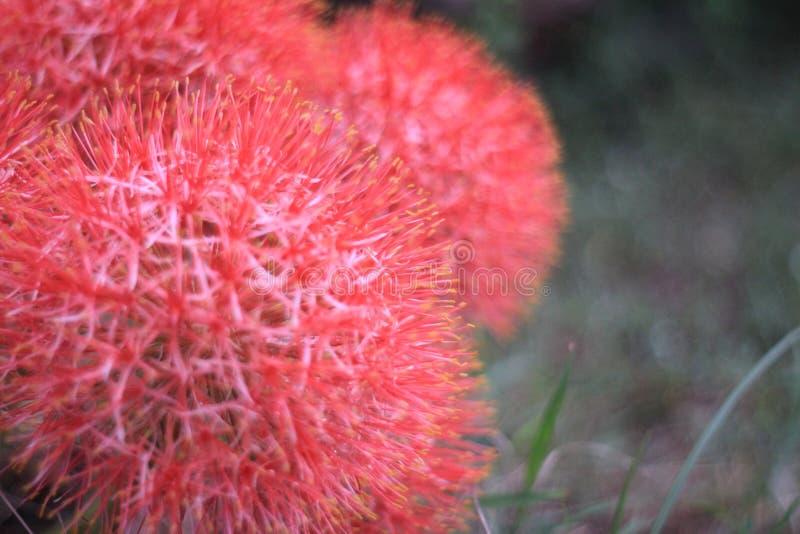 De mooie rode bloemen zijn bloeiend in de tuin stock foto