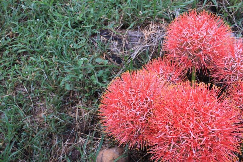 De mooie rode bloemen zijn bloeiend in de tuin stock fotografie