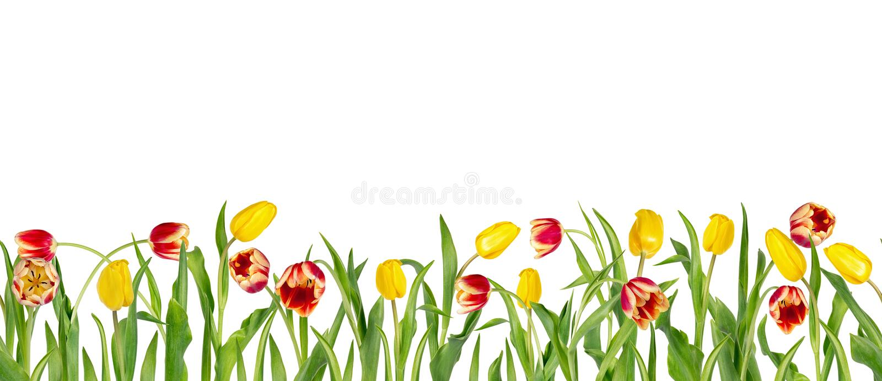 De mooie rode en gele tulpen op lange stammen met groene bladeren schikten in naadloze rij Geïsoleerdj op witte achtergrond helde stock illustratie