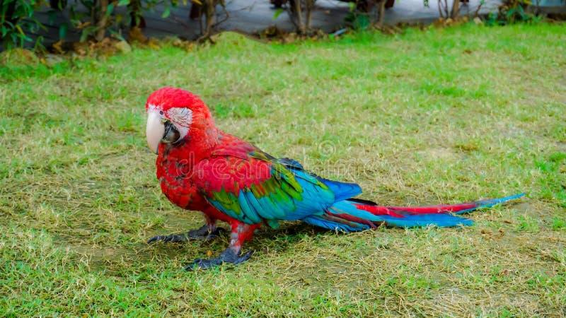 De mooie rode groene en blauwe vogel van de macorepapegaai stock fotografie