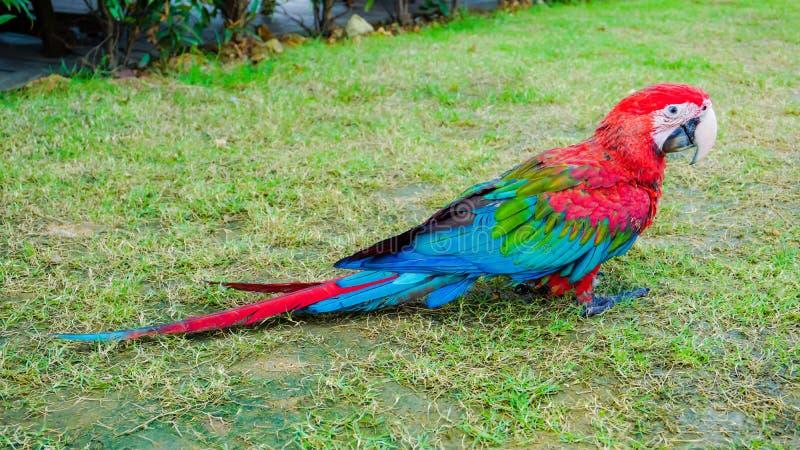 De mooie rode groene en blauwe vogel van de macorepapegaai royalty-vrije stock afbeelding