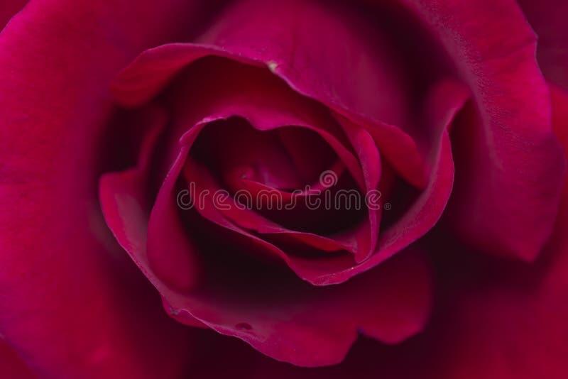 De mooie rode rozenbloem in tuin nam de textuur bloem van de achtergrondrozenbloem toe royalty-vrije stock foto's