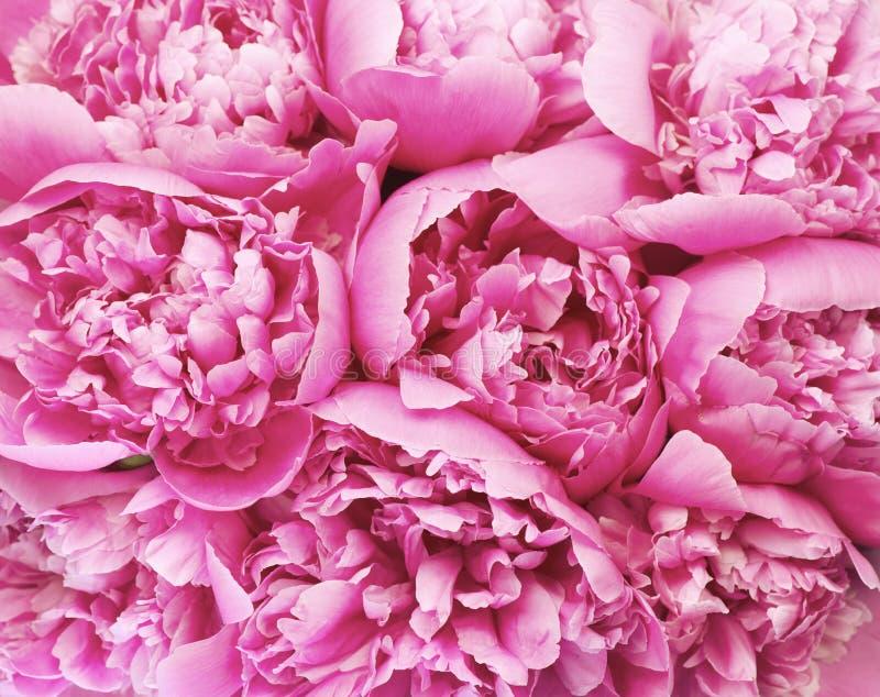 De mooie roze achtergrond van het pioenboeket De bloeiende pioen bloeit close-up De dag van de valentijnskaart `s royalty-vrije stock foto's