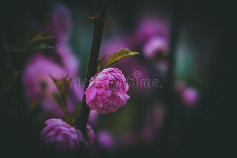 De mooie roze bloemen van de amandelbloesem tegen een donkere achtergrond royalty-vrije stock fotografie