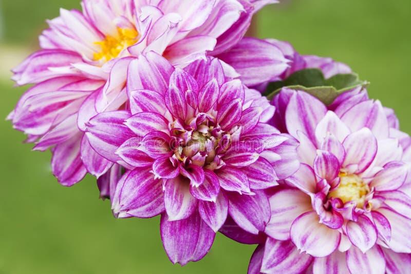 De mooie Roze Bloemen van de Dahlia royalty-vrije stock fotografie