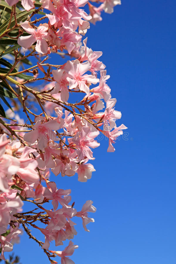 De mooie roze bloemen van de Oleander royalty-vrije stock afbeeldingen
