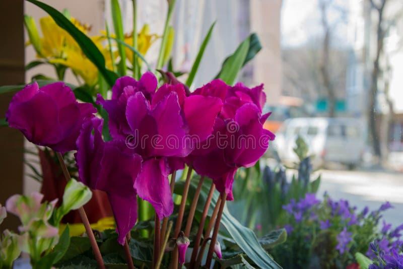 De mooie roze Cyclaam bloeit, close-upbloem in een bloemwinkel met diverse bloemen op de achtergrond, bloeiende purpere bloem royalty-vrije stock afbeeldingen