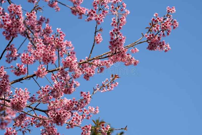 De mooie Roze kersenbloesem bloeit Thaise Sakura bloeiend in wintertijd stock fotografie