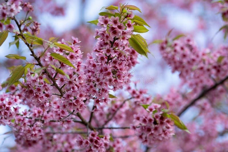 De mooie Roze kersenbloesem bloeit Thaise Sakura bloeiend in wintertijd stock foto's