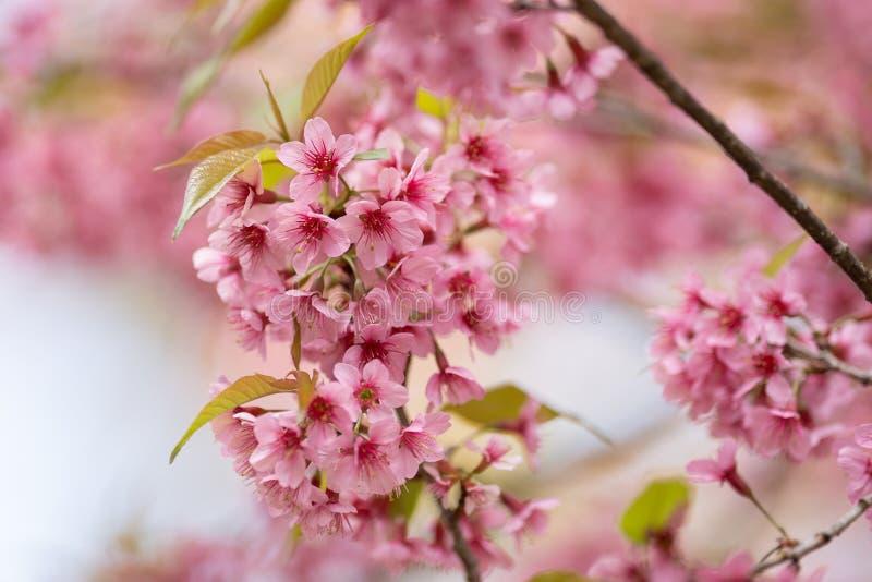 De mooie Roze kersenbloesem bloeit Thaise Sakura bloeiend in wintertijd stock afbeeldingen