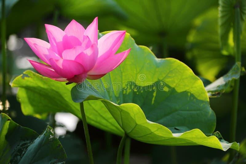 De mooie roze lotusbloem bloeit het bloeien onder weelderige bladeren in een vijver onder heldere de zomerzonneschijn stock afbeeldingen