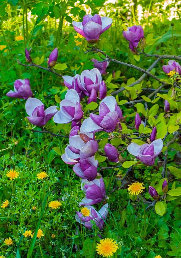 De mooie roze Magnolia bloeit in de vroege lente op de achtergrond van groene gras en paardebloem stock afbeelding