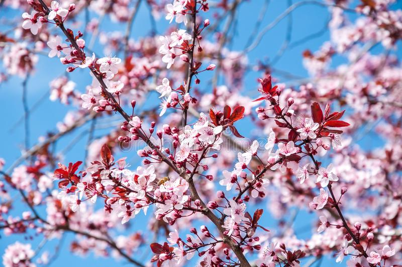 De mooie roze of purpere bloesem van de kersenboom bloeit bloeiend in de de lentetijd, met blauwe hemelachtergrond, selectieve na stock foto's