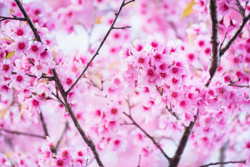 De mooie roze zachte nadruk van de kersenbloesem Levendige kleur van Kers B stock foto