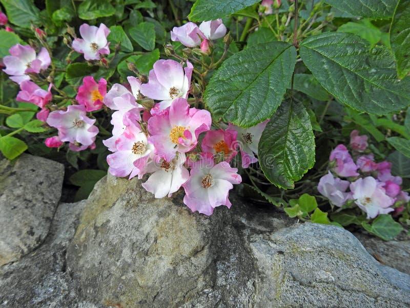 De mooie rozen van de de zomerrots stock afbeelding