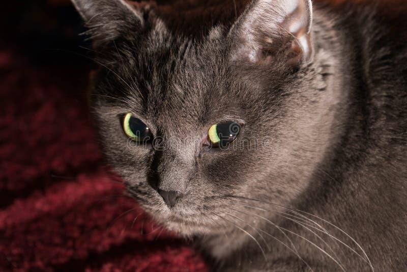 De mooie Russische blauwe kat met groene ogen stelt op de donkere achtergrond stock afbeelding