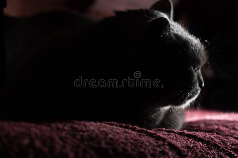 De mooie Russische blauwe kat met groene ogen stelt op de donkere achtergrond royalty-vrije stock foto