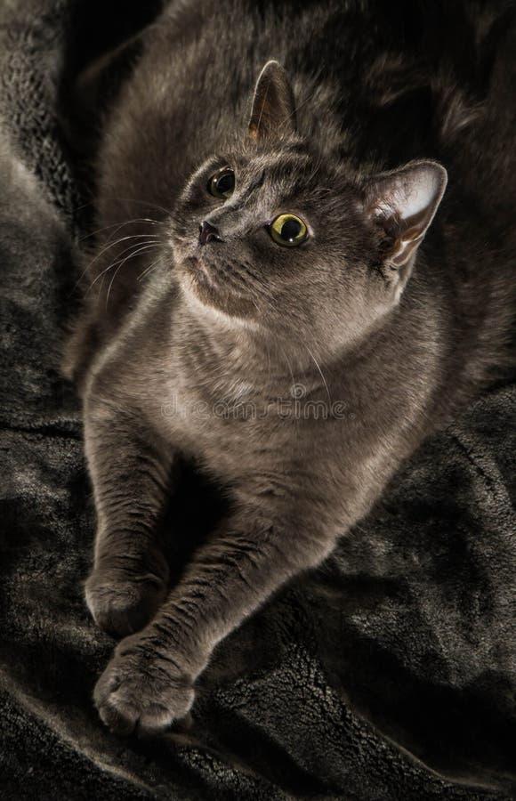 De mooie Russische blauwe kat met groene ogen stelt op de donkere achtergrond stock fotografie