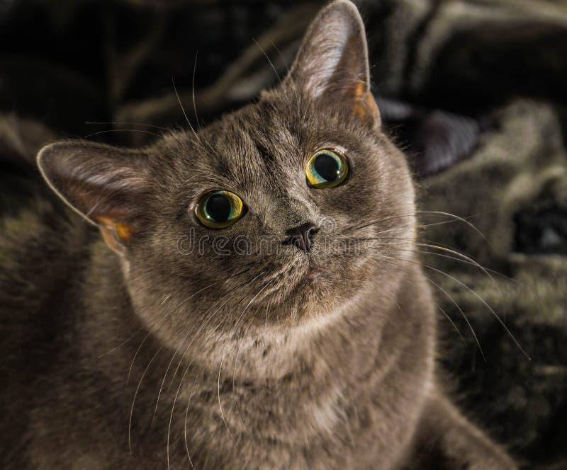 De mooie Russische blauwe kat met groene ogen stelt op de donkere achtergrond stock afbeeldingen