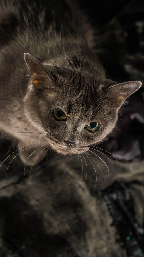 De mooie Russische blauwe kat met groene ogen stelt op de donkere achtergrond royalty-vrije stock afbeeldingen