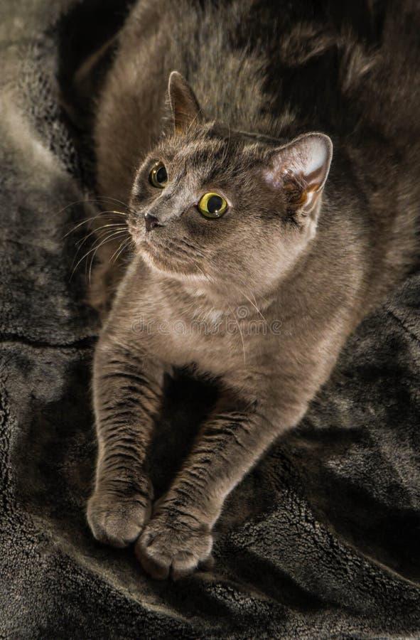 De mooie Russische blauwe kat met groene ogen stelt op de donkere achtergrond stock foto's