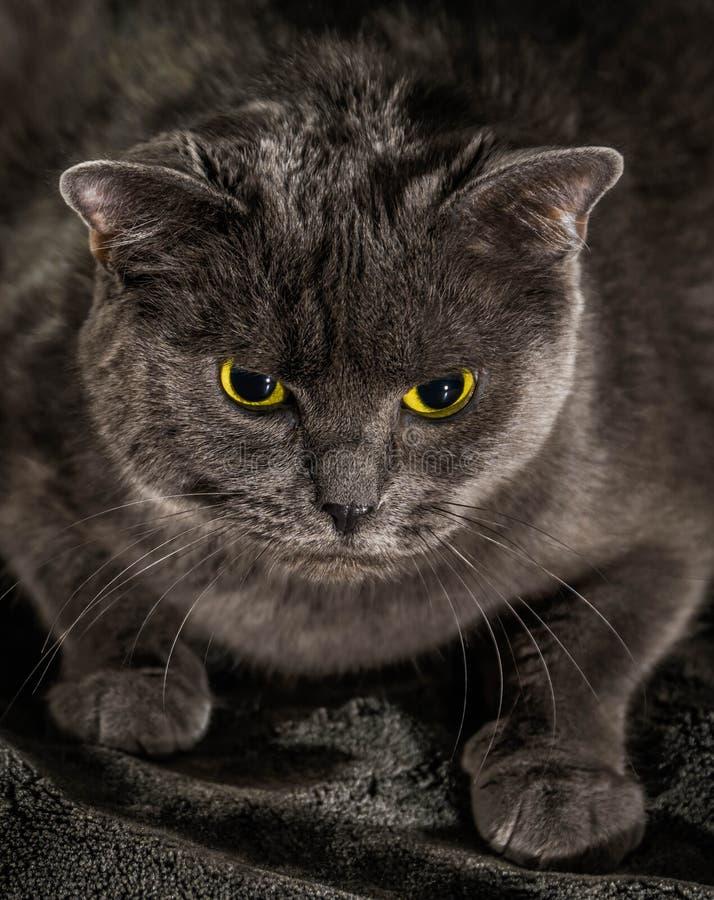 De mooie Russische blauwe kat met groene ogen stelt op de donkere achtergrond royalty-vrije stock afbeelding