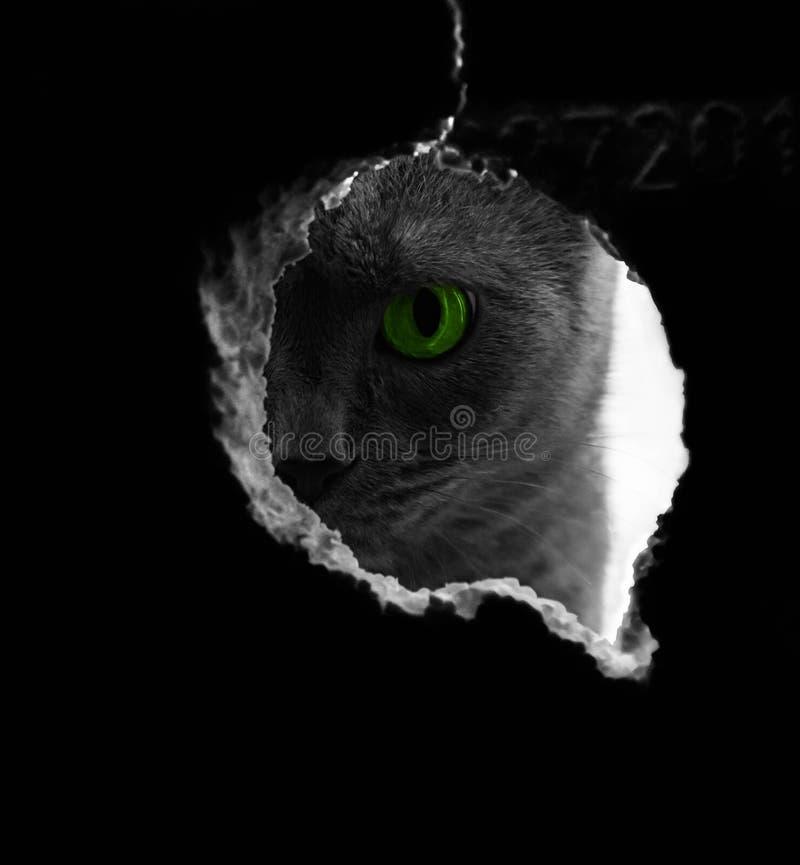 De mooie Russische blauwe kat met groene ogen stelt op de donkere kat als achtergrond op het venster de kat door kijkt stock afbeeldingen