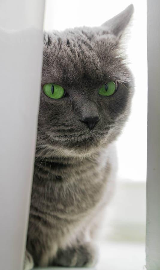 De mooie Russische blauwe kat met groene ogen stelt op de donkere kat als achtergrond op het venster de kat door kijkt royalty-vrije stock foto's